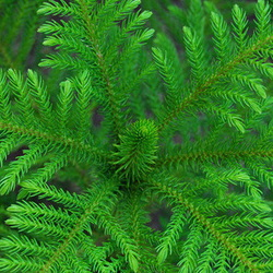 Norfolk pine viewed from above