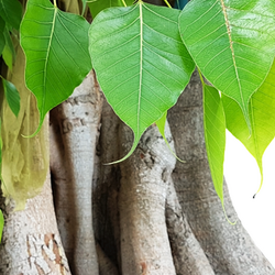 Bodhi tree trunk with drooping leaves