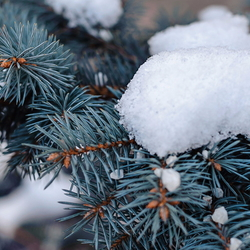 Snow sitting on the branches of a blue conifer.