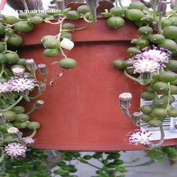 Hanging pot with blooming string of pearls