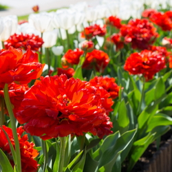 Curbside row of red flowers