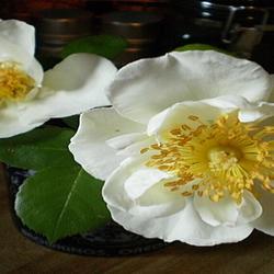 vintage old white rose blossoms