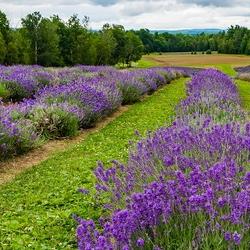 Lavender rows in boloom