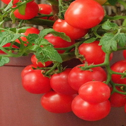 Cherry tomatoes in a container
