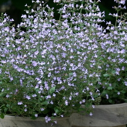 blooming calamint