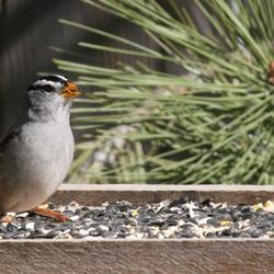 Gray Bird on Tray Feeder