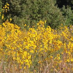 Helianthus angustifolius in an autumn field