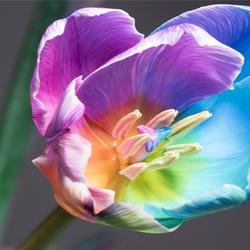 Rainbow colored flower