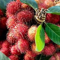red rambutan fruit cluster
