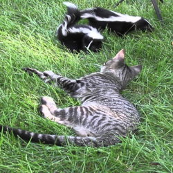 Cat playing with two skunks