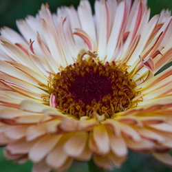 Calendula officinalis 'Sherbet Fizz'