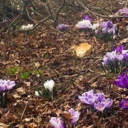 Purple crocuses under a tree