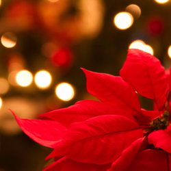 A poinsetta with Christmas lights in the background.