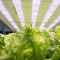 Leaves of Lettuce under a row of grow lights
