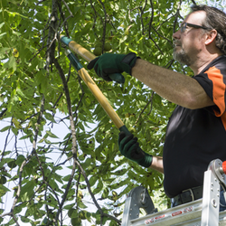 Man on ladder trimming tree with shears