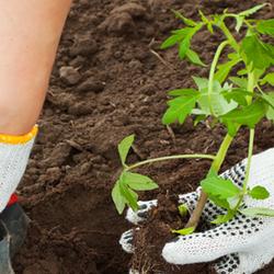 Planting a garden transplant