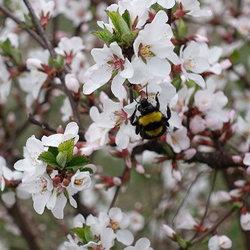 Prunus tomentosa