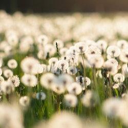 field of dandelion puffballs