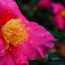 bright pink camellia bloom