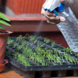 Seed tray being watered with spray bottle