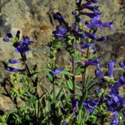 A purple penstemon humilis.
