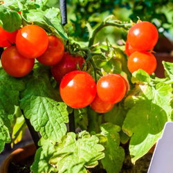 cherry tomatoes in containers