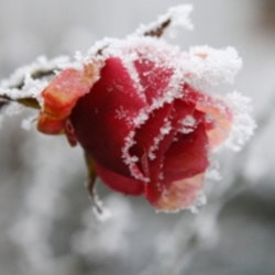 end of care for frosted rose