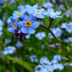 forget me nots in a field