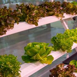 Indoor Hydroponics Garden of Leafy Greens