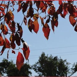 red fall leaves against a blue sky