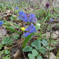 Alpine squill and lesser celandine blooms