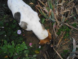 Minnie sniffing into a hole she made next to the irises