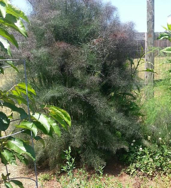 bronze fennel plant