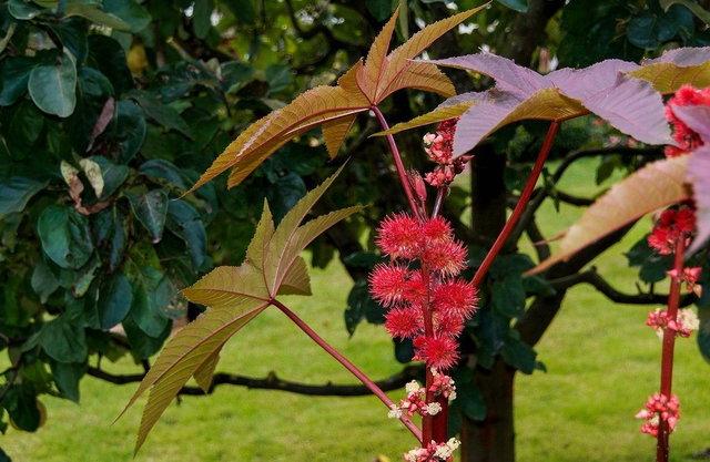 Castor Oil Tree