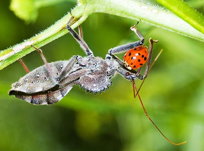 What Do Stick Bugs Eat And Drink