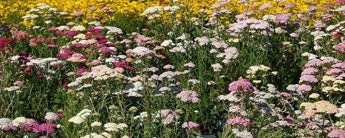 pastel yarrow plantfiles