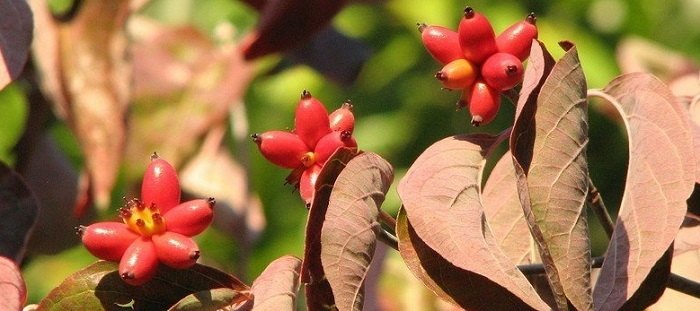 dogwood berries and leaves