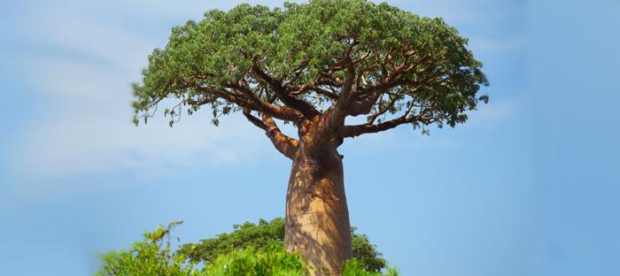 Green Treetop of Baobab Tree