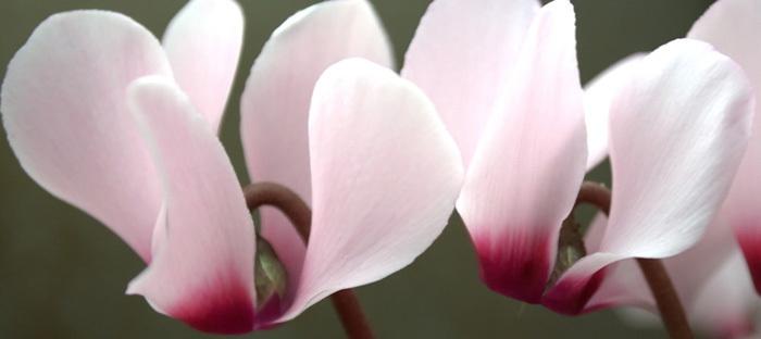 Cyclamen blooms
