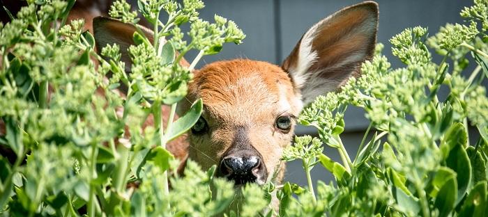 Deer peeking through foliage