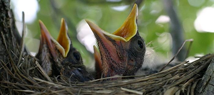 Hatchling robins