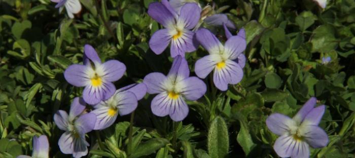 Viola bicolor growing in yard