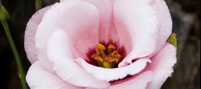 Eustoma grandiflora Cinderella Pink