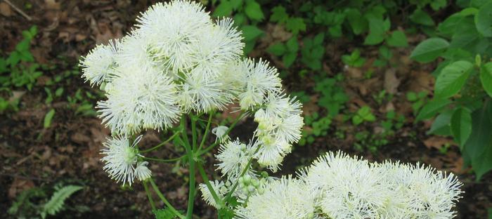 White thalictrum