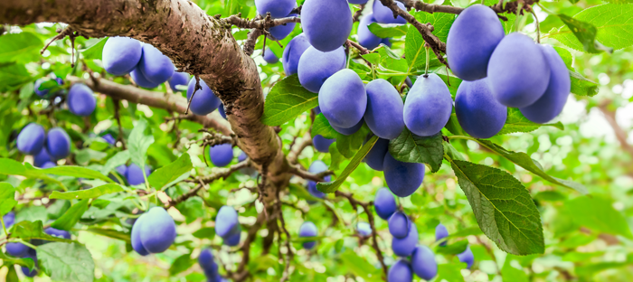 Fruits on the Branch of a Plum Tree