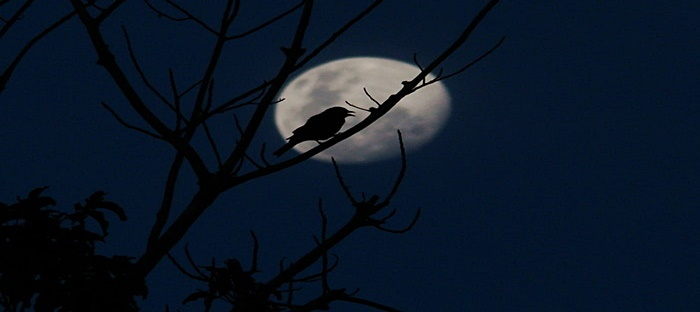 Crow in a tree backed by the moon