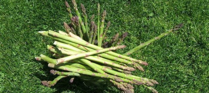 freshly harvested asparagus spears