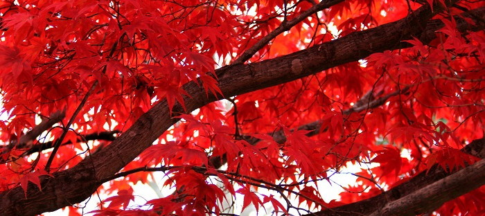Red leaves of Japanese maple