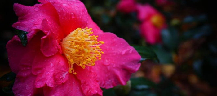 bright pink camellia bloom