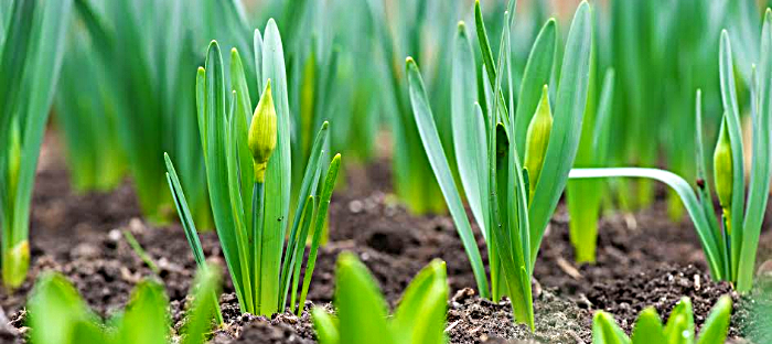 daffodil bulbs about to bloom